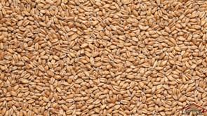 Солод пшеничный Wheat malt, Viking malt, 1 кг